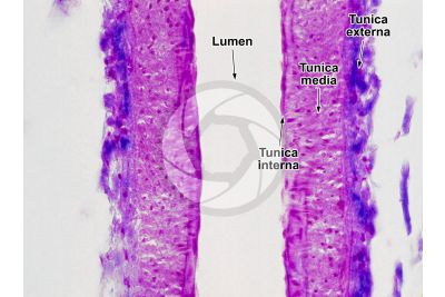 Mammal. Arteriole. Longitudinal section. 250X