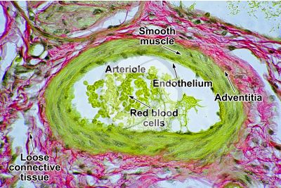 Mammal. Arteriole. Transverse section. 500X