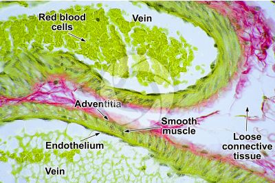 Mammal. Vein. Transverse section. 500X