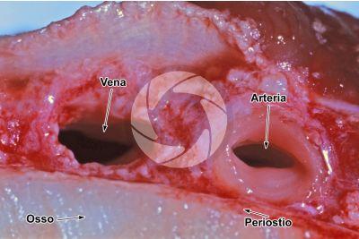 Mammifero. Arteria e vena. Sezione trasversale