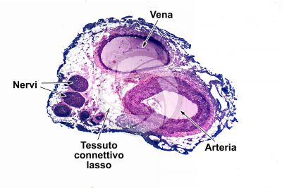 Mammifero. Arteria e vena. Sezione trasversale. 32X