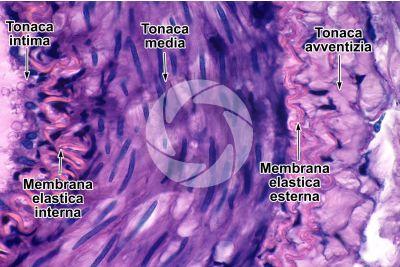 Mammifero. Arteria. Sezione trasversale. 500X