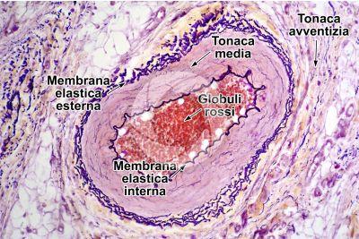 Mammifero. Arteria. Orceina. Sezione trasversale. 125X