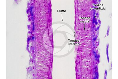 Mammifero. Arteriola. Sezione longitudinale. 250X