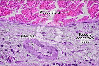 Mammifero. Arteriola. Sezione trasversale. 500X
