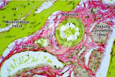 Mammifero. Arteriola e venula. Sezione trasversale. 500X