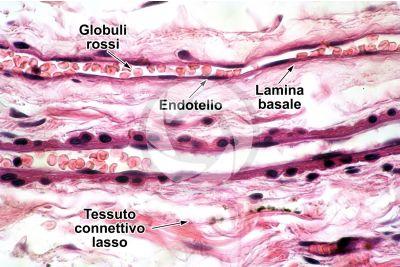 Mammifero. Vaso capillare. Sezione longitudinale. 500X