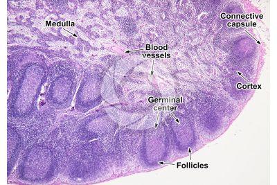 Mammal. Lymph node. Transverse section. 32X