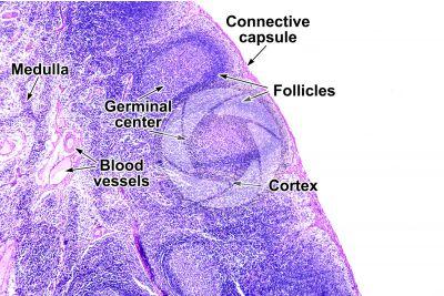 Mammal. Lymph node. Transverse section. 64X