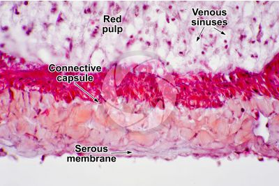 Man. Spleen. Transverse section. 500X