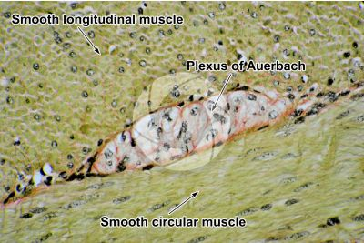 Dog. Small intestine. Smooth muscle. Transverse section. 250X