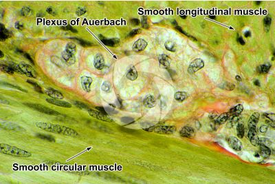 Dog. Small intestine. Smooth muscle. Transverse section. 500X