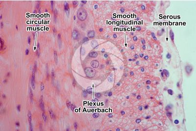 Rabbit. Small intestine. Smooth muscle. Transverse section. 500X