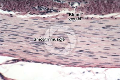 Mammal. Uterus. Smooth muscle. Longitudinal section. 250X