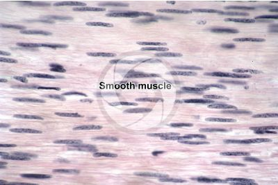 Mammal. Uterus. Smooth muscle. Longitudinal section. 500X