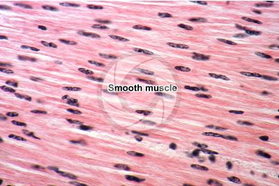 Mammal. Smooth muscle. Longitudinal section. 500X
