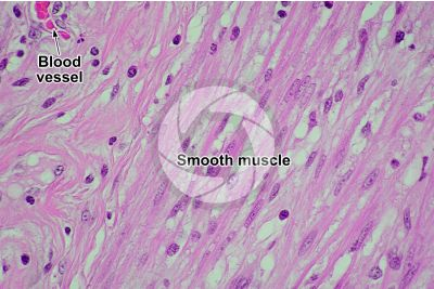 Mammal. Smooth muscle. Longitudinal section. 250X