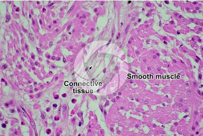 Mammal. Smooth muscle. Transverse section. 250X