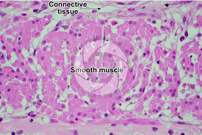 Mammal. Smooth muscle. Transverse section. 500X