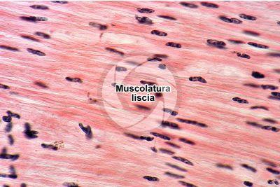Mammifero. Muscolatura liscia. Sezione longitudinale. 500X