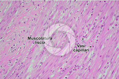 Mammifero. Muscolatura liscia. Sezione longitudinale. 125X