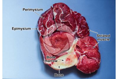 Mammal. Skeletal muscle. Transverse section