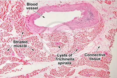 Mammal. Skeletal muscle. Transverse section. 64X
