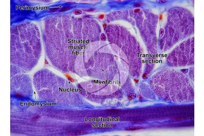 Mammal. Skeletal muscle. Transverse section. 250X