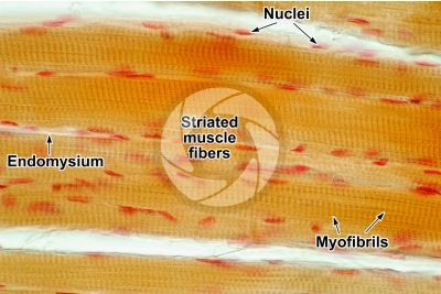 Mammal. Skeletal muscle. Longitudinal section. 500X