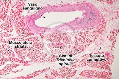 Mammifero. Muscolatura scheletrica. Sezione trasversale. 64X