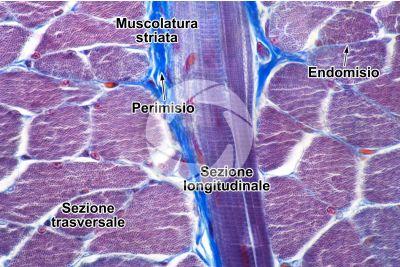 Mammifero. Muscolatura scheletrica. Sezione trasversale. 500X