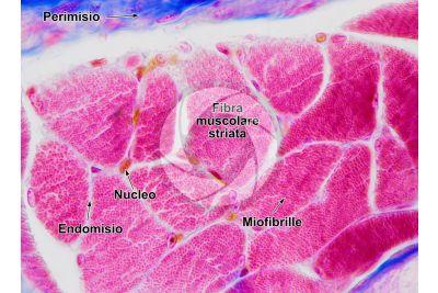 Mammifero. Muscolatura scheletrica. Sezione trasversale. 250X