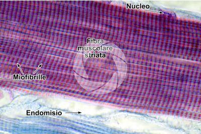 Mammifero. Muscolatura scheletrica. Sezione longitudinale. 1000X