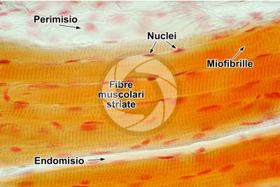 Mammifero. Muscolatura scheletrica. Sezione longitudinale. 500X