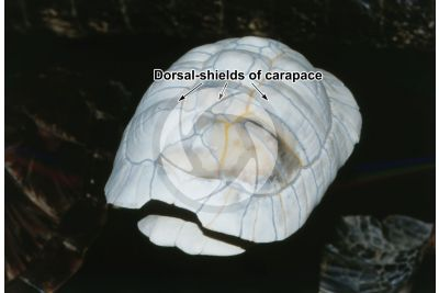 Testudines. Turtle. Carapace. Lateral view