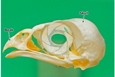 Accipiter nisus. Sparrowhawk. Skull. Lateral view