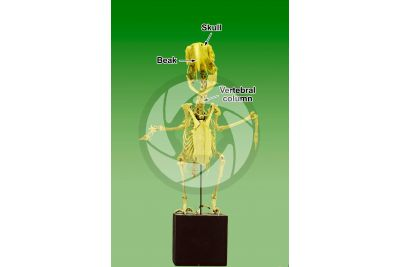 Parrot. Skeleton. Front view