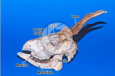 Capreolus capreolus. Roe deer. Skull. Lateral view