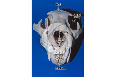Felinae. Felinae. Skull. Front view