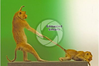 Embalmed simian. Lateral view