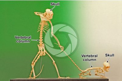 Simian. Skeleton. Lateral view