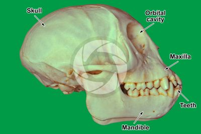 Simian. Skull. Lateral view
