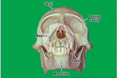 Simian. Skull. Front view