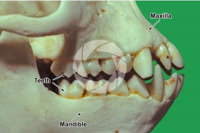 Simian. Tooth. Lateral view