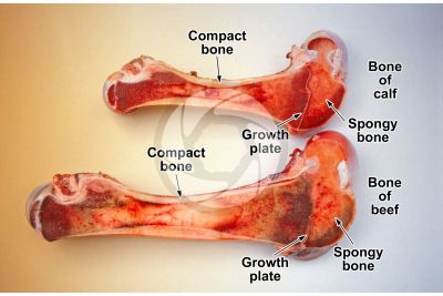 Cow. Femur. Longitudinal section
