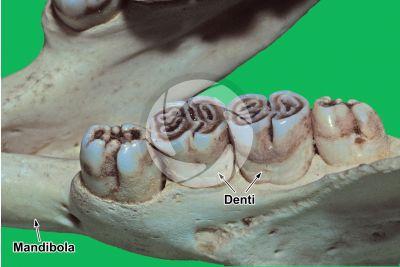 Hystrix. Istrice. Dente. Vista laterale