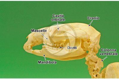 Canguro. Cranio. Vista laterale