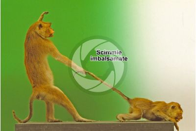 Scimmia imbalsamata. Vista laterale
