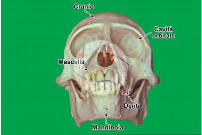 Scimmia. Cranio. Vista frontale