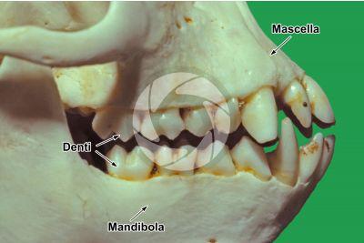 Scimmia. Dente. Vista laterale